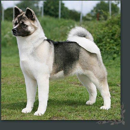 American Akita dog photo