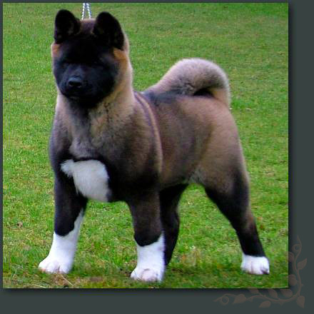 Akita Dog For Sale In Texas